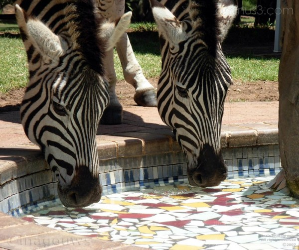 Zebras drinking water from the swimming pool