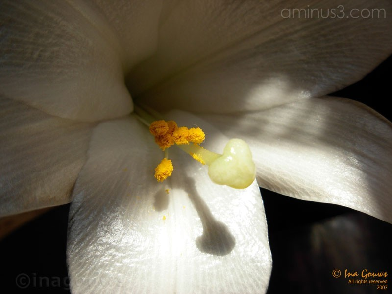 Closeup of white St Joseph's lilly