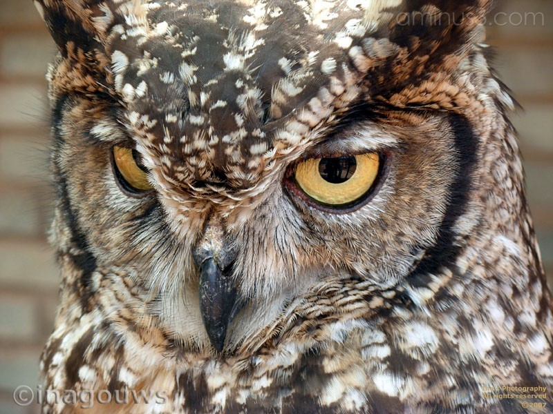 Closeup of owl face