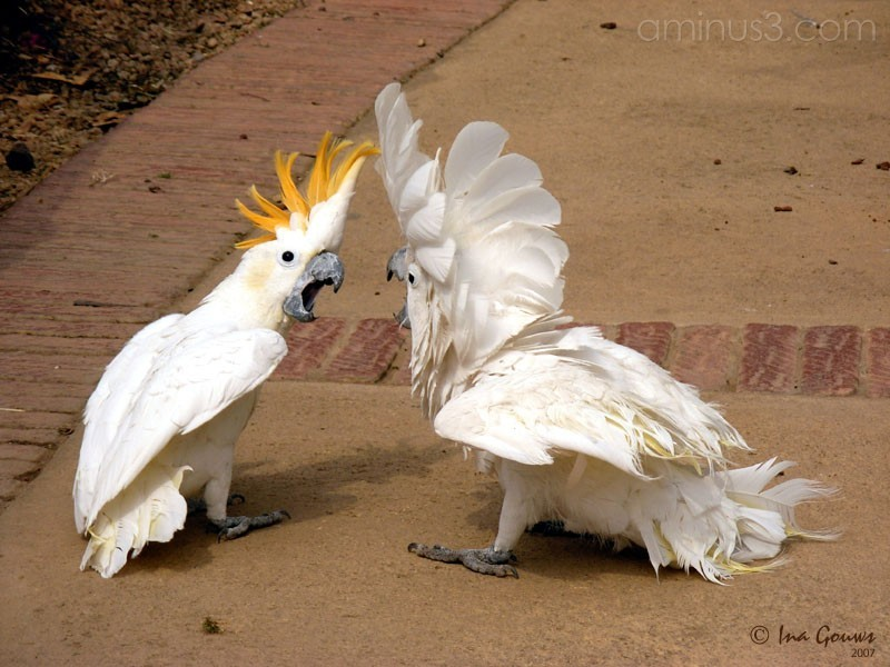 Fighting cockatoos