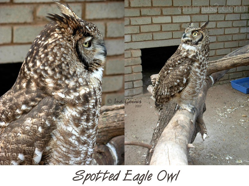 Spotted eagle owl side view