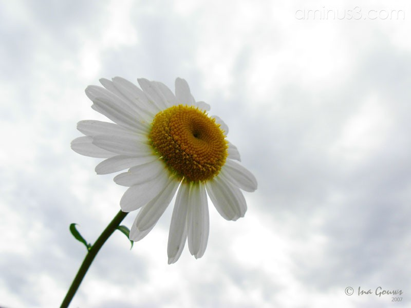Closeup of daisy againt cloudy sky