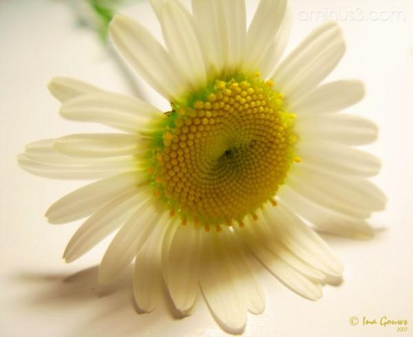 Closeup of white daisy