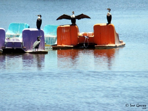Cormorant holding his wings out in the sun