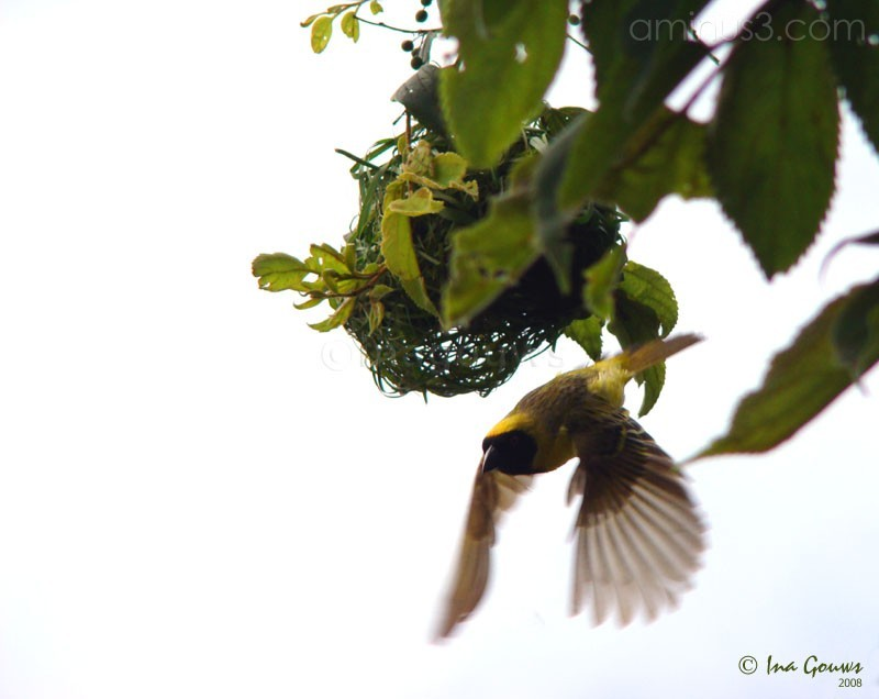 yellow finch in flight
