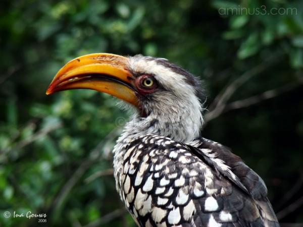 Closeup of yellow-billed hornbill
