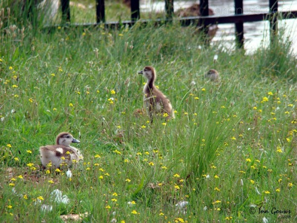 Baby ducks in field of flowers