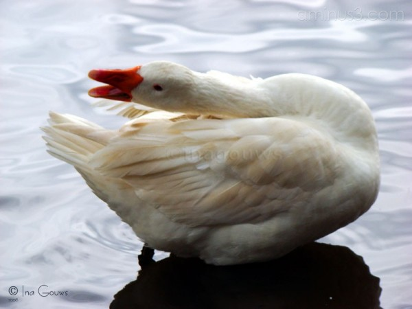 Posing white duck