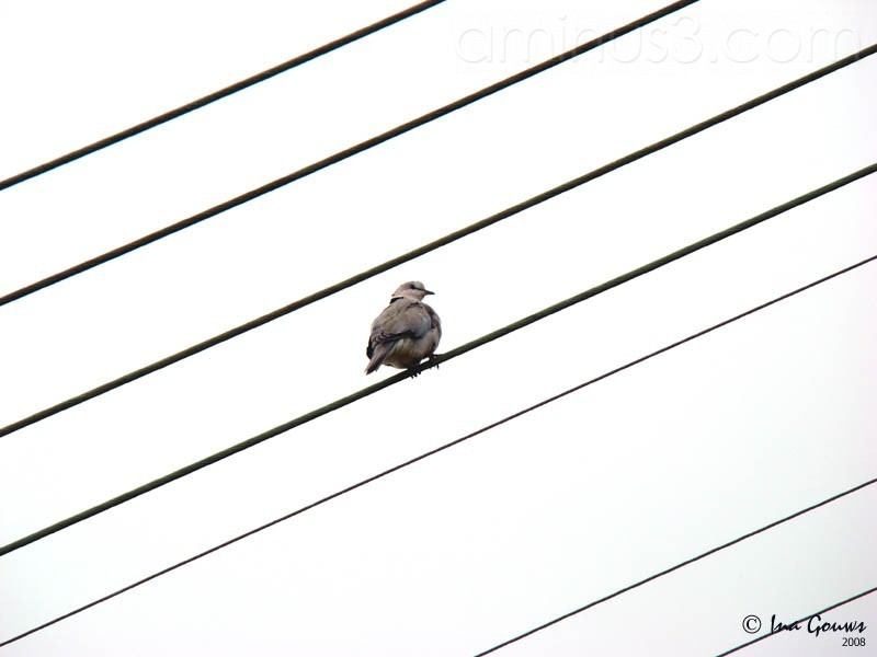 Dove sitting on electric wires