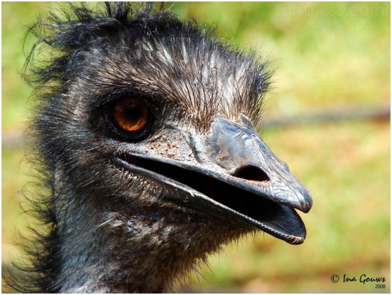 Ostrich like bird