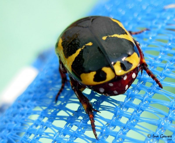Dotted beetle