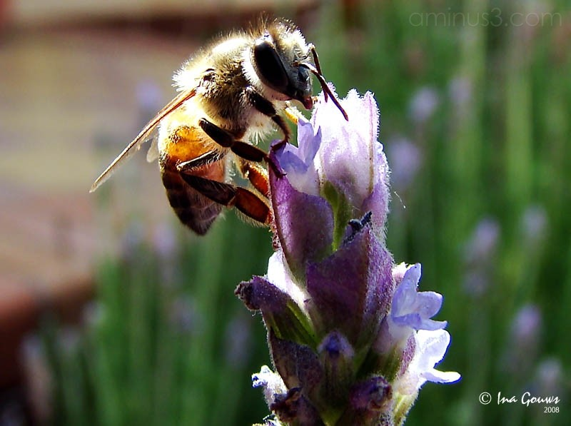 Macro shot of bee on lavender