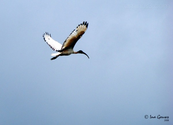 Sacred Ibis in flight.