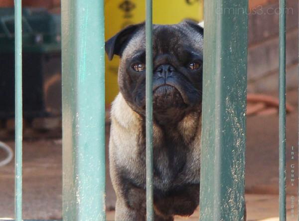 Dog behind gates