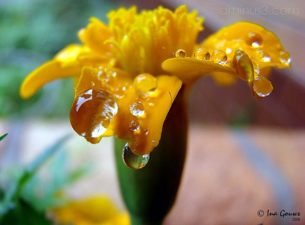 Raindrops on orange flower