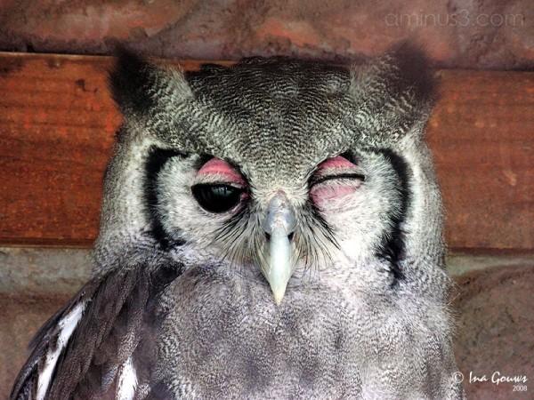 Pink eye owl
