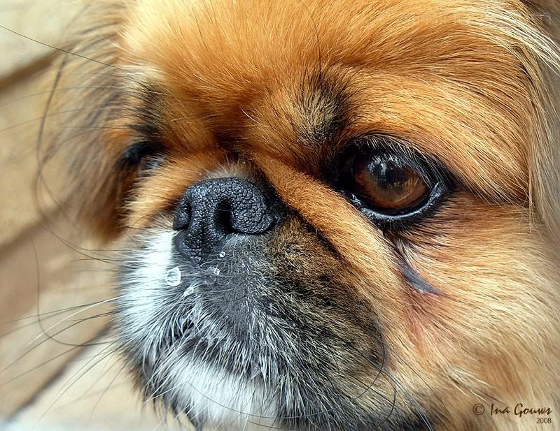 Closeup face-shot of pikanese
