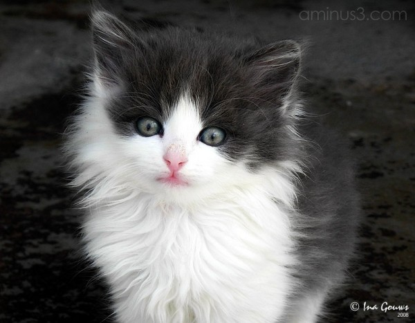Closeup of black and white kitten