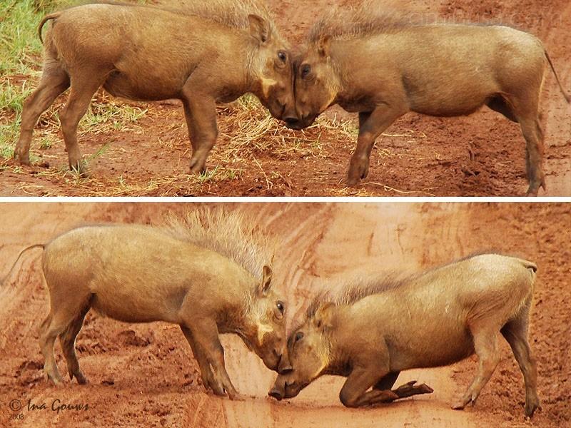 warthog babies