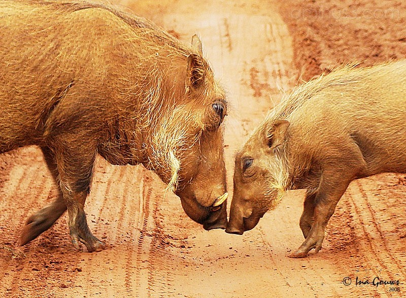 Warthog mother and child