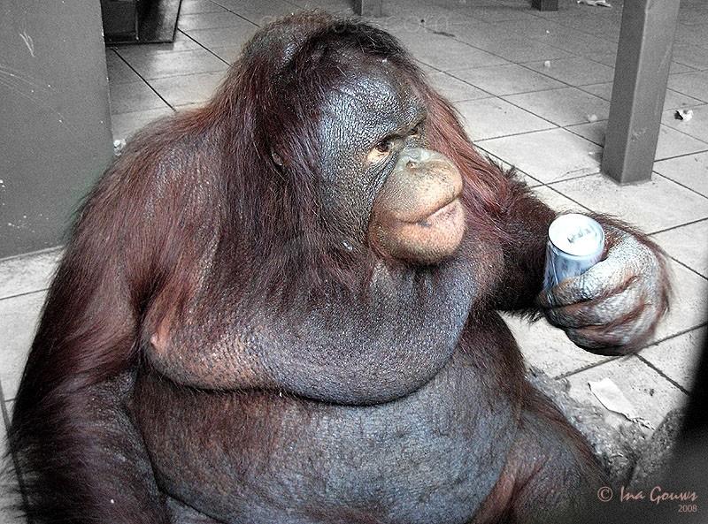 Orangutan drinking Coke with straw