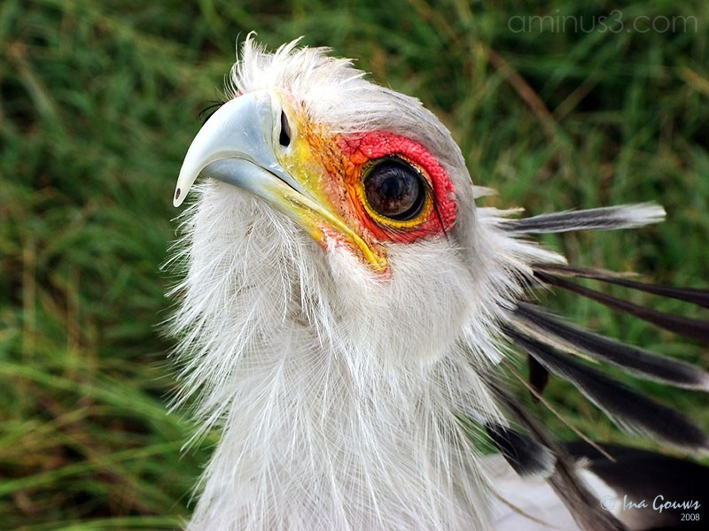 Closeup of Secretary bird