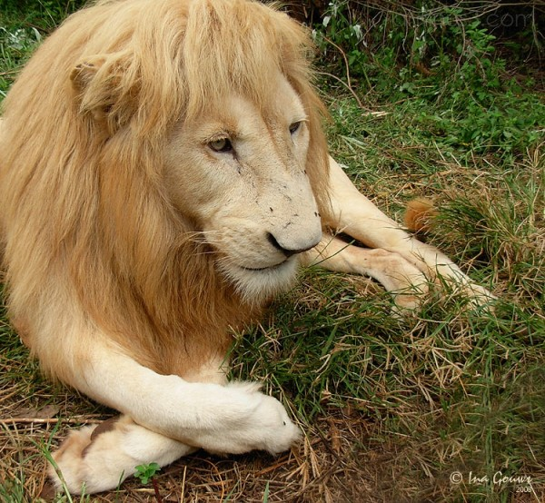 Male lion resting with crossed paws