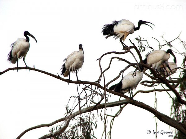 Flock of Sacred Ibis's