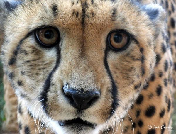 Cheetah at a rehabilitation camp