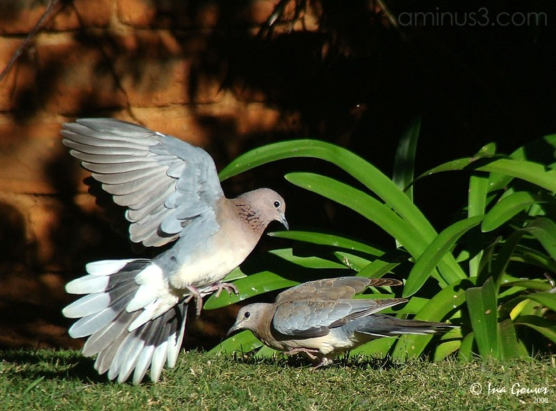 Dove fights