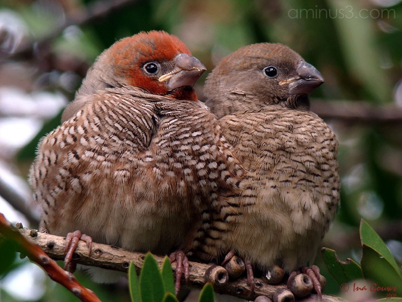 Red-headed finch couple