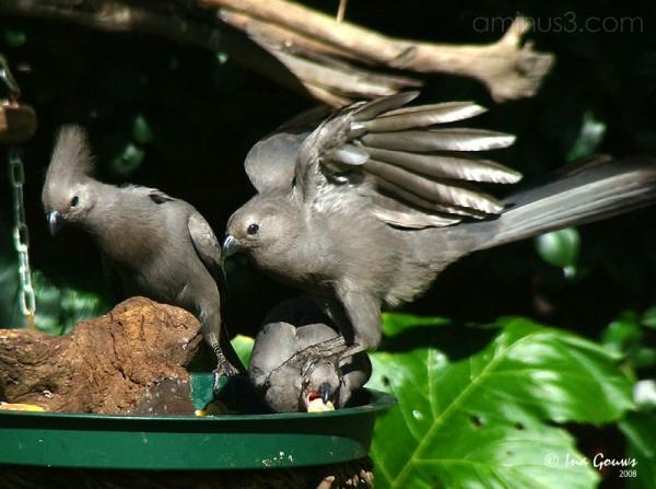 Grey Loerie, Go-away bird or Kwêvoël