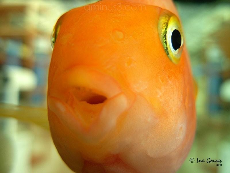 Closeup of gold fish