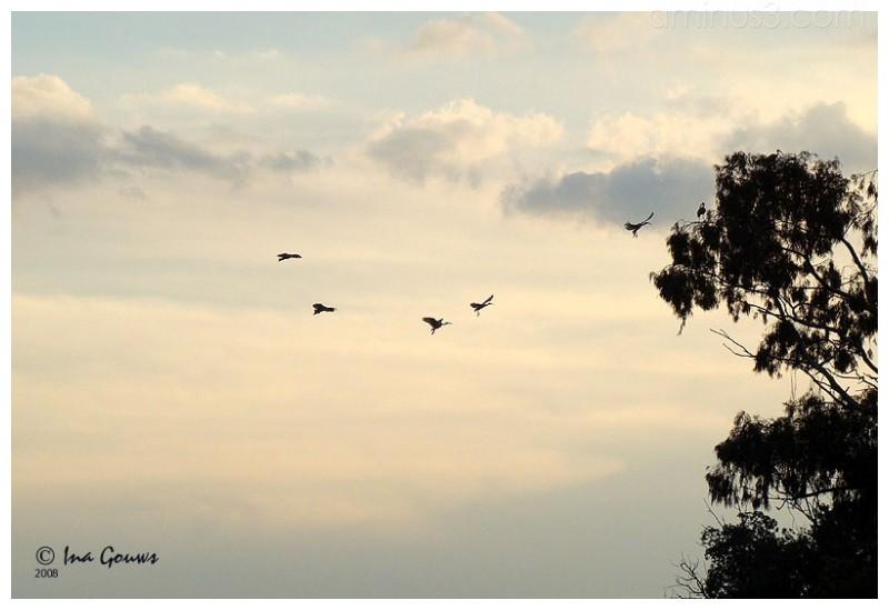 Ibis in flight at sunset