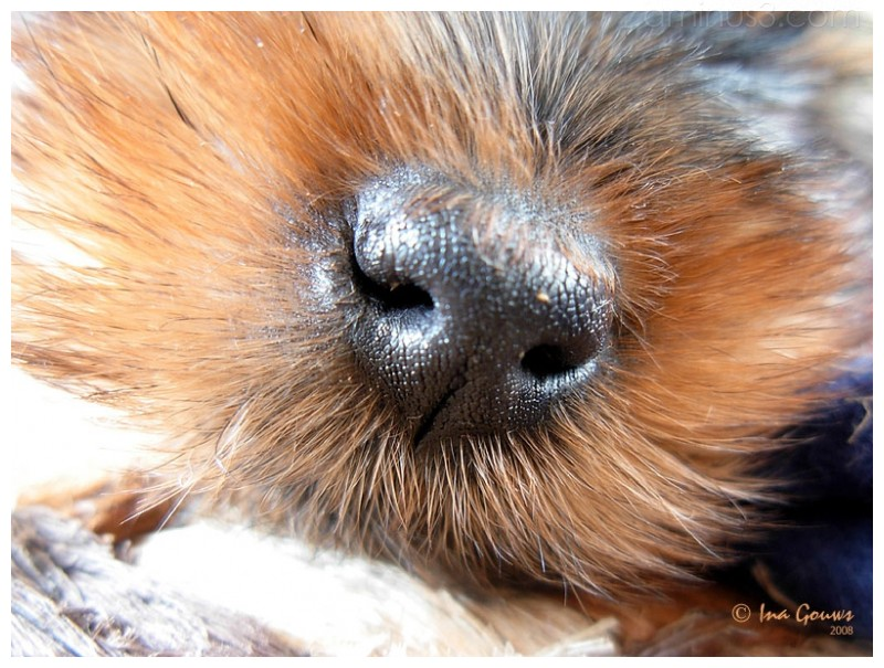 Closeup of Yorkie's snout