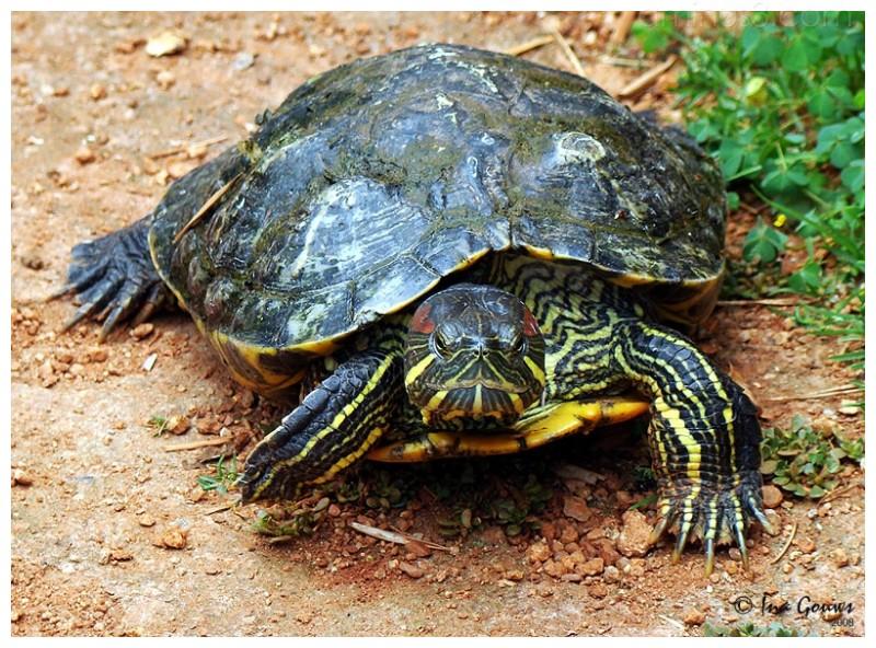 Black and yellow tortoise