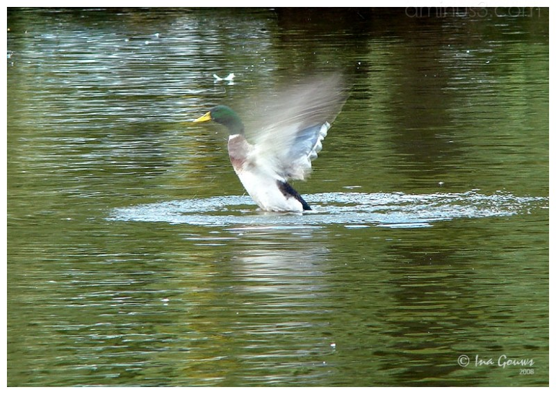 Egyptian goose spread wings
