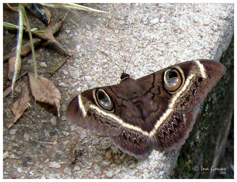Butterfly with eye-like markings