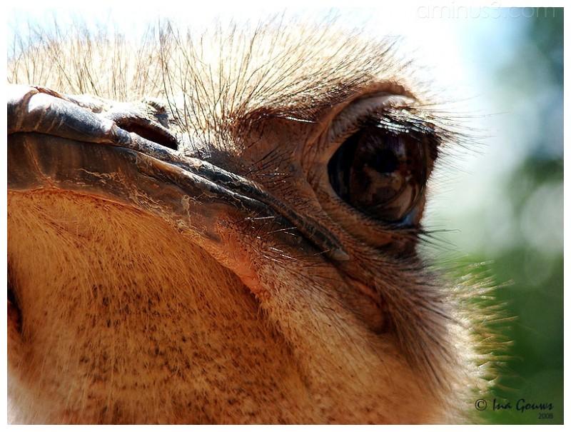 Closeup of ostrich eye