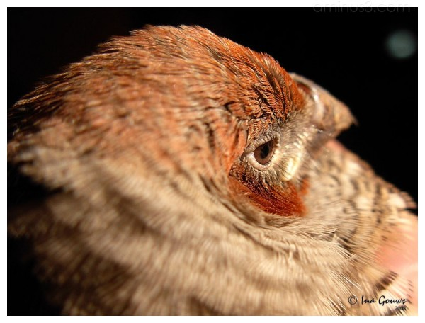 Closeup of redhead finch