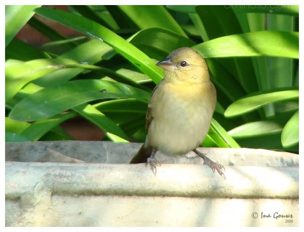 Garden bird on bird bath