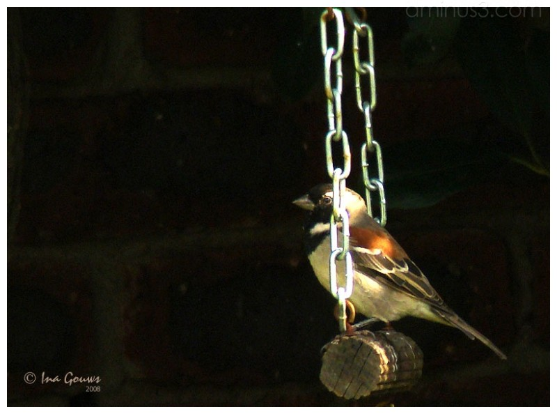 Cape sparrow on a swing