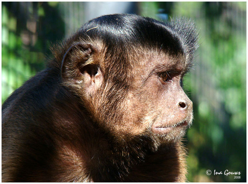 Brown Capuchin Female Monkey