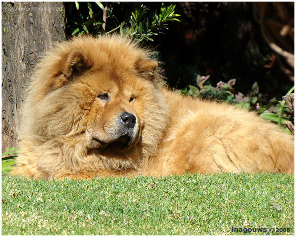 Male Chow brown