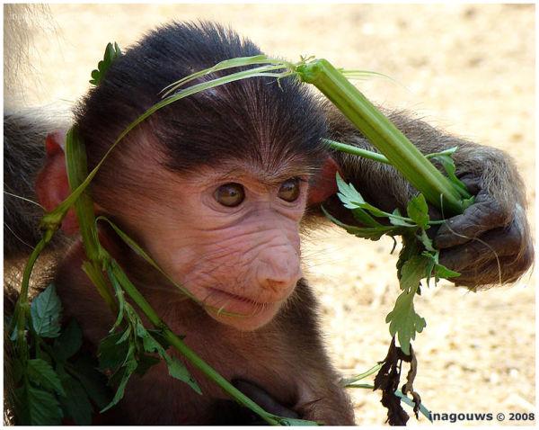 Baby monkey eating