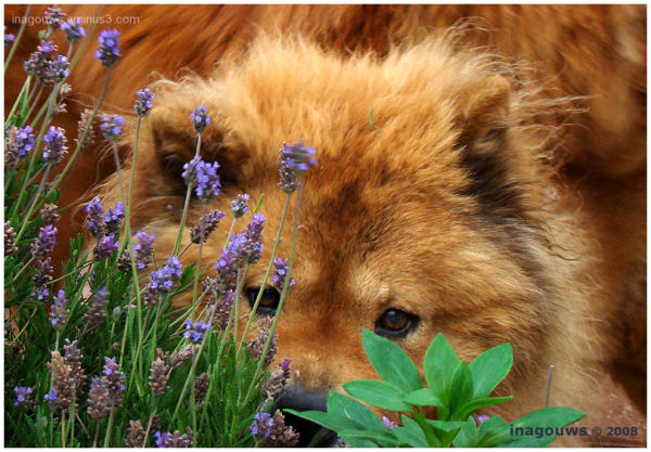 Chow Chow and lavender