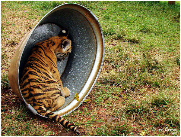 Tiger cub in tin bath