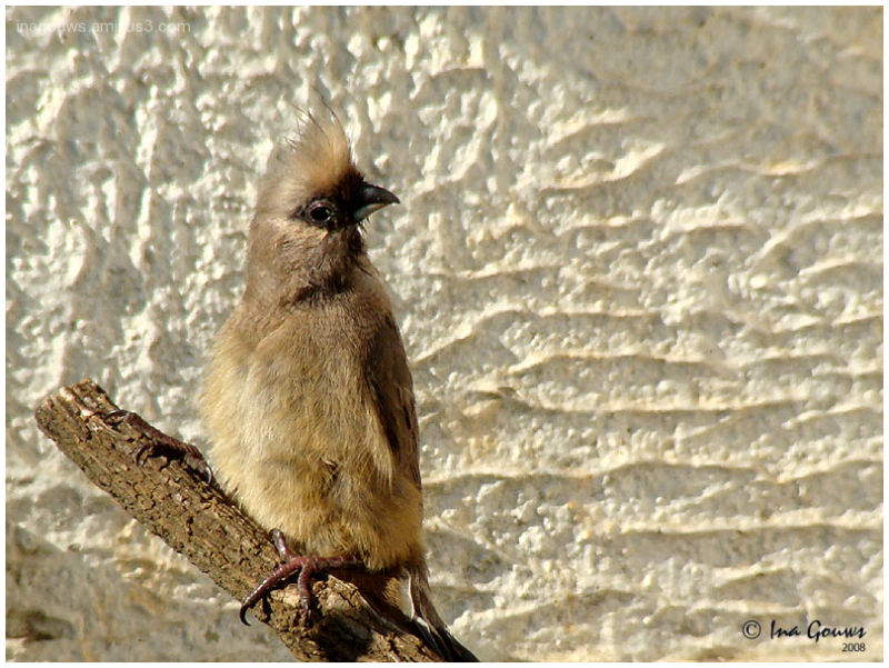 Muisvoel speckled mousebird