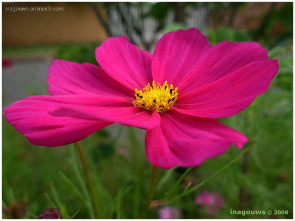 Kosmos flower