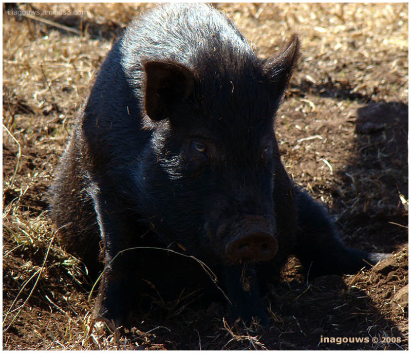 Sad black pig